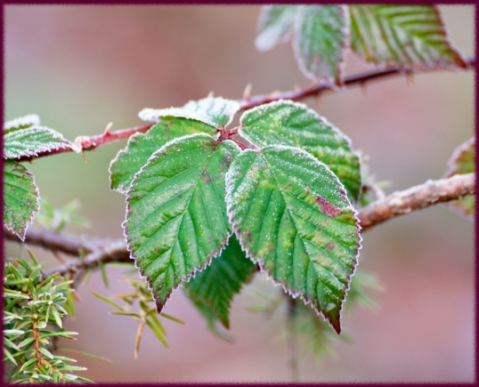 frostblad