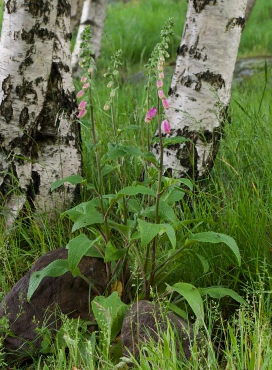 v-blommor