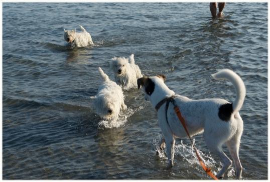 hundar-havsbad
