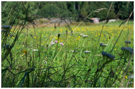 hons-losa-blommor