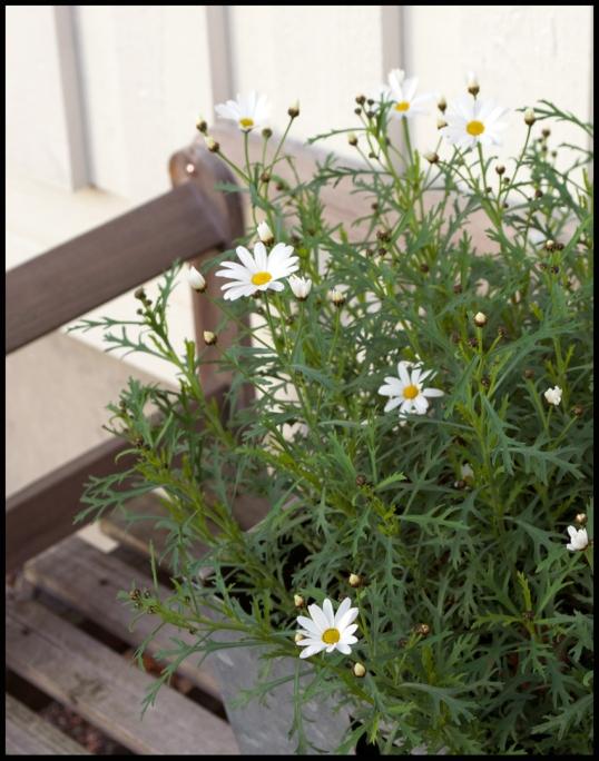allhelgona-blomma