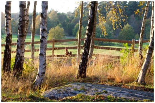 honsgarden-och-staketet