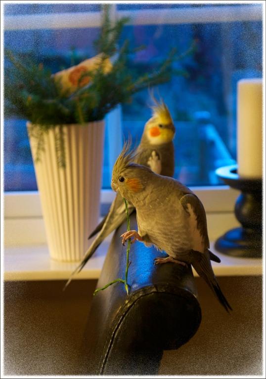 julkort-faglar