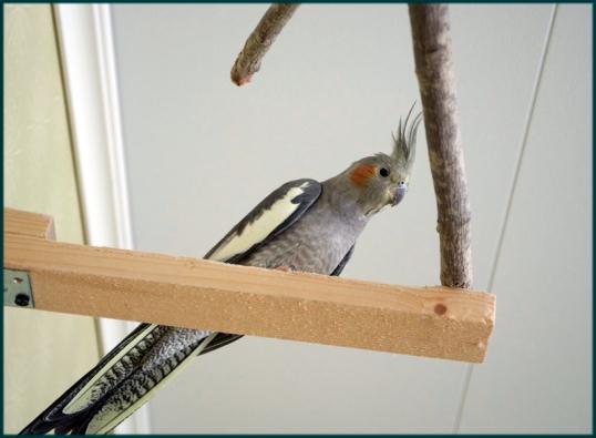 rum-till-nymfparakiter