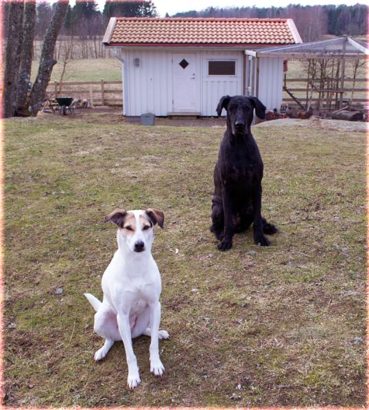 hundar-adopterade