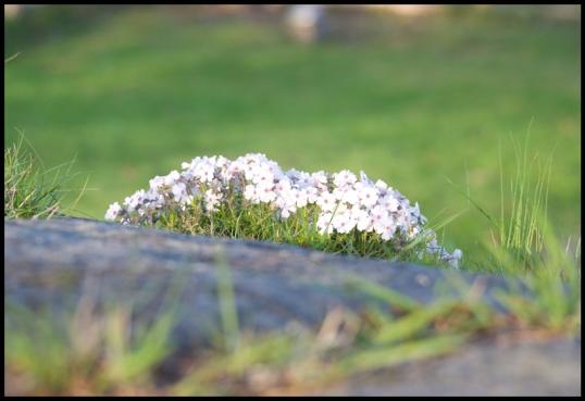 blomma-hons1