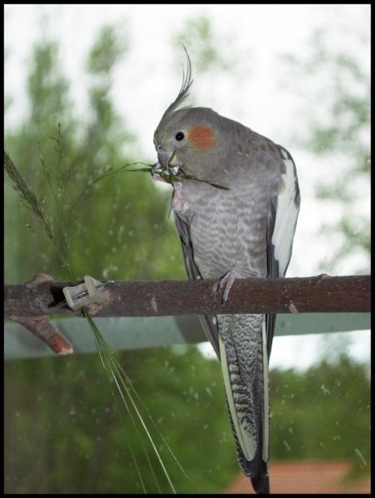 parakiter-gras-ute