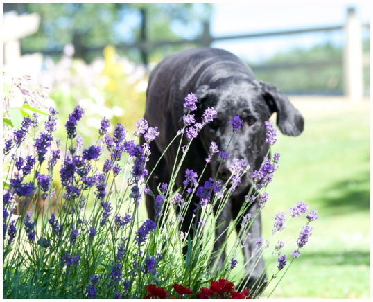lavendel-mot-fastingar-hund