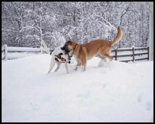 hundar-fran-rumanien-adoptera
