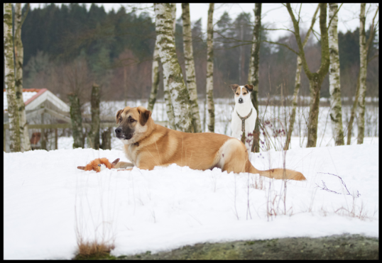 hundar-fran-rumanien1