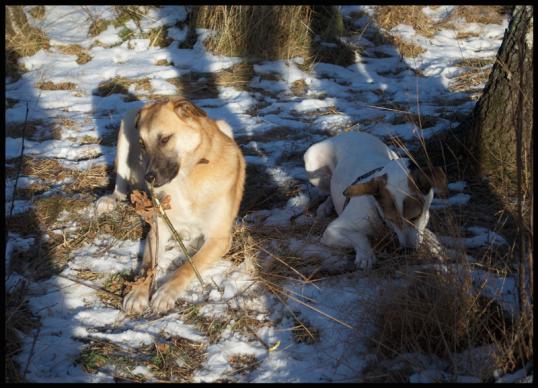 hundar-fran-rumanien6