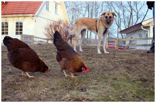 hundar-och-hons3