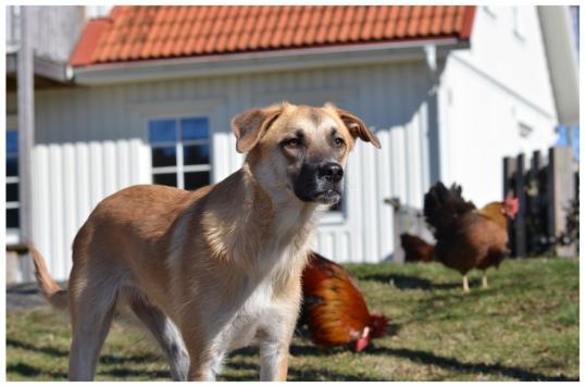adoptera-hund