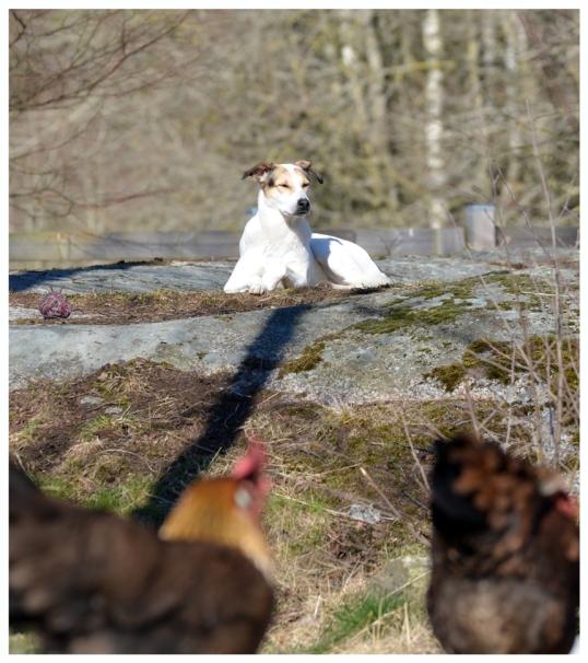 adoptera-hund3