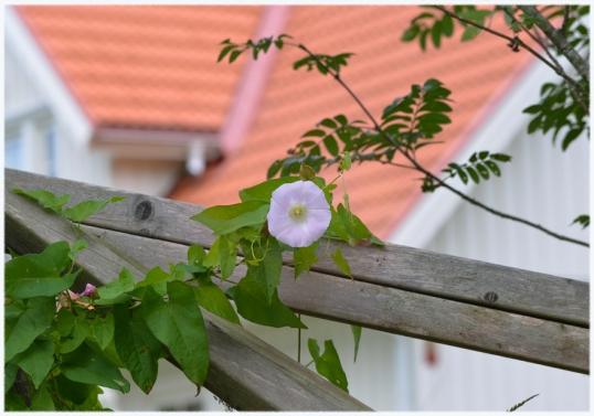rosa-blommor